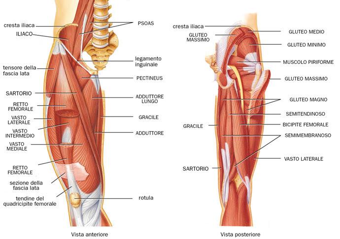 muscoli delle gambe, muscoli della coscia