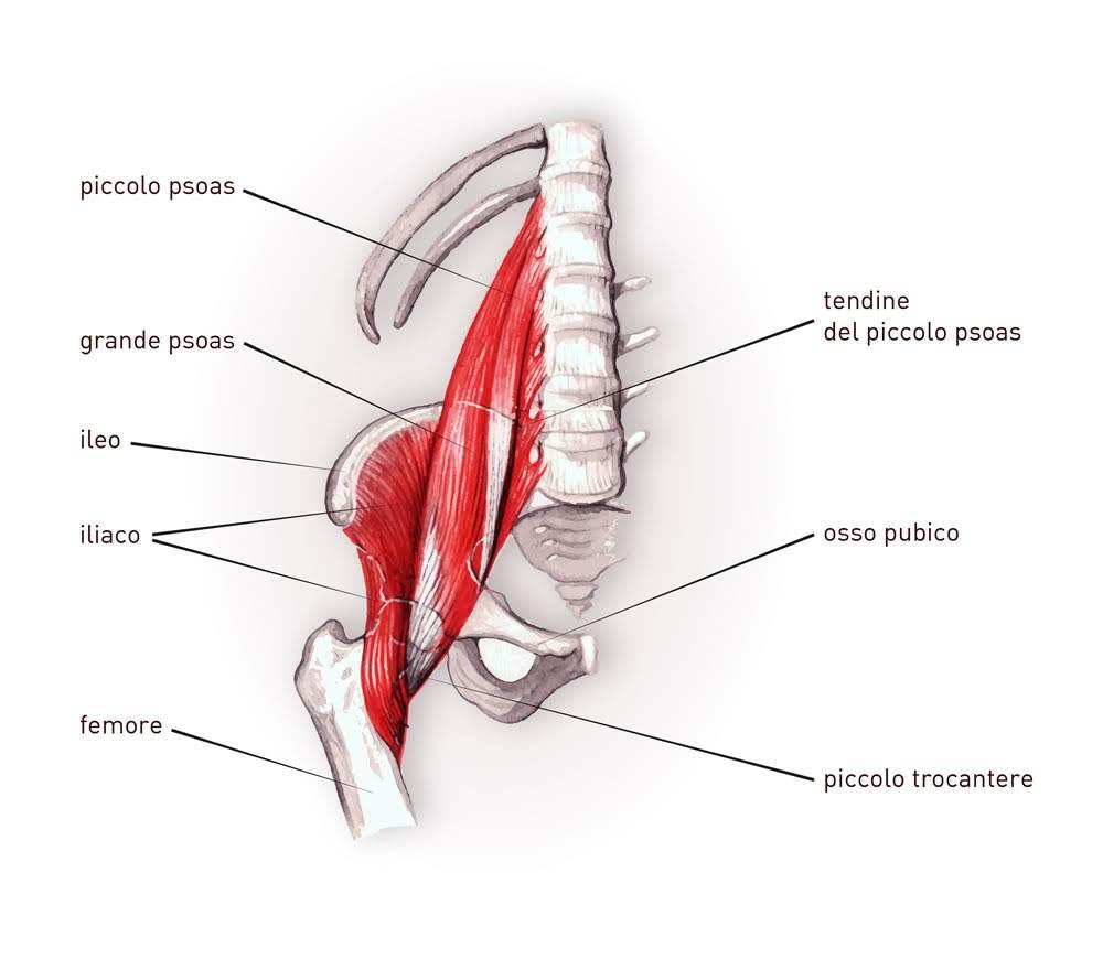 muscoli delle gambe, ileopsoas
