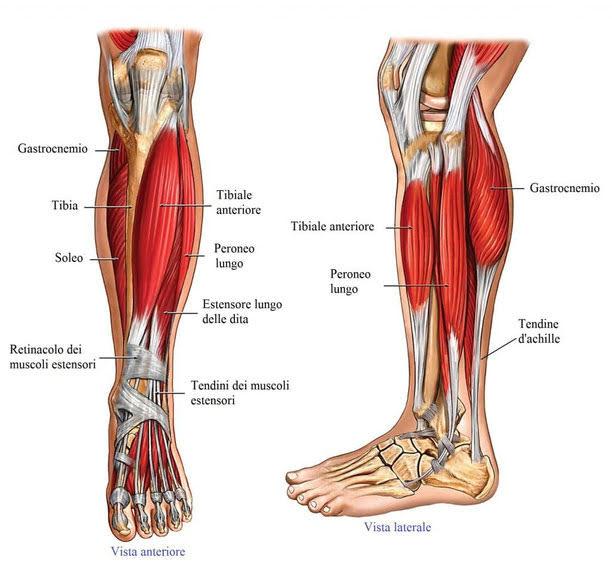 muscoli delle gambe, muscoli polpacci