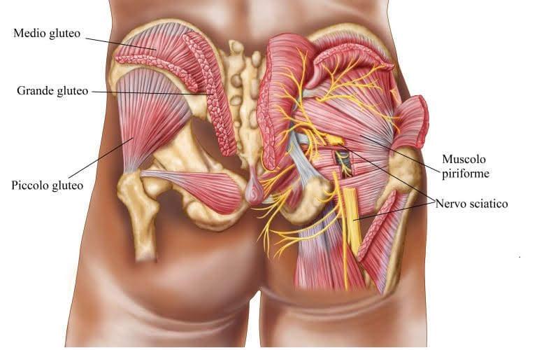muscoli delle gambe, piriforme-gluteo-grande-medio-piccolo