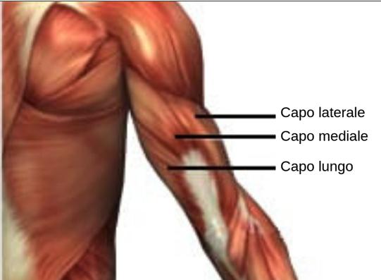 tricipite: anatomia dei tre capi