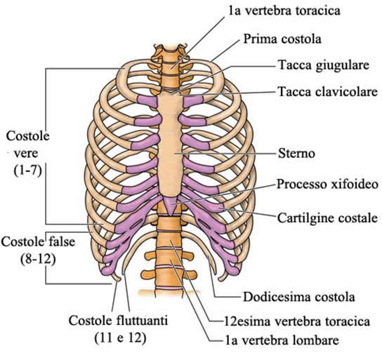 muscoli pettorali - coste