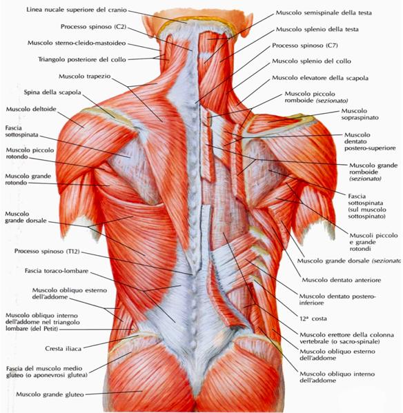 muscoli pettorali - dentato posteriore
