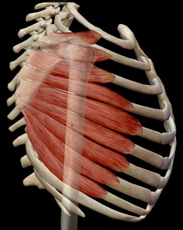 muscoli pettorali - dentato anteriore